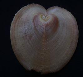 Corculum cardissa  53.3mm F+++,  sea shells