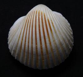 vepricardium multispinosum  46.7mm F+++ , sea shell