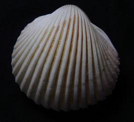 vepricardium multispinosum  44.8mm F++ , sea shell
