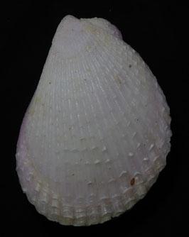 Bivalvia -lima lima vulgaris  size  92.1mm F+++