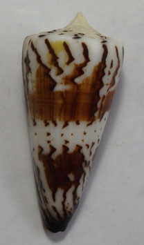 Conus  generalis  65.6mm F+++