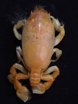 Sea crab taxidermy Umalia orientalis  52.6mm  F+++ preserved dried,sea crabs ,measured body only