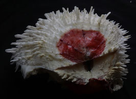Spondylus varians  128mm F+++ size measured exclude spines