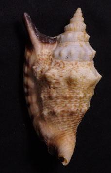 Euprotomus aratrum melanostomus  89.3mm F++