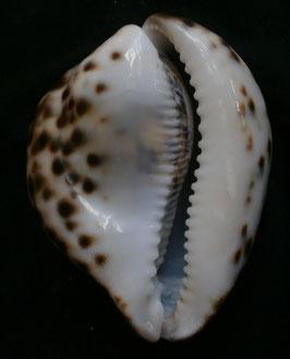 Cypraea tigris  72.5mm F+++, freak form shell
