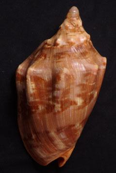 Cymbiola  aulica  135.6mm F+++ sea shell