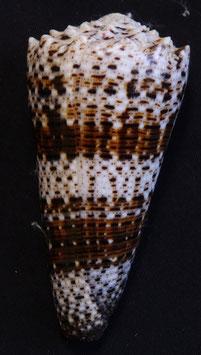 Conus   imperialis  77.1mm F+++ , gastropods sea shell