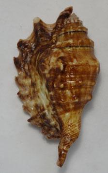 Lambis  millepeda  95.4mm F+++, amazing freak shell