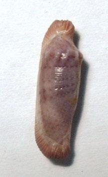 Dentiovula  piriei   18.2mm F+++ , sea shell