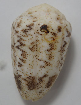 Conus  arenatus  46.3mm F++/F+++ , Philippine sea shell