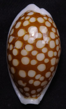Cypraea  cribraria  35.3mm F+++, nice spots big size shell