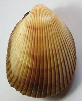 Trachycardium enode  118.2mm F+++, big size sea shell
