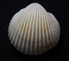 vepricardium multispinosum  47mm F++ , sea shell