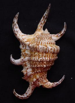 Lambis  chiragra  123.1mm F+++ . sea shell small size