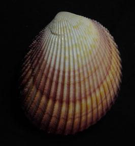Bivalvia - Trachycardium angulatum 71.1mm F+++