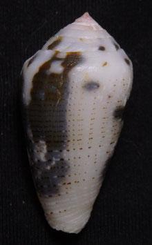 Conus striolatus  31.8mm F+++