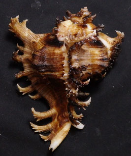 Chicoreus ramosus 93.9mm F+++ black color form,
