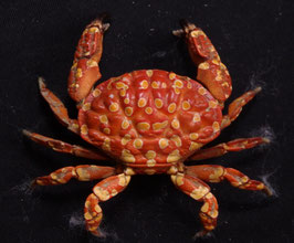 Sea crab taxidermy Zosimus maculatus 31.7mm F+++ preserved dried,sea crabs ,measured body only