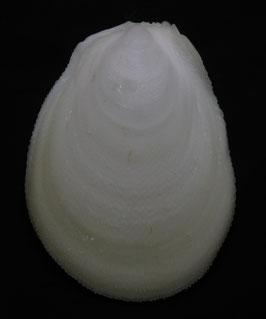 Bivalvia - Ctenoides ales  75.8mm F+++ , sea shell
