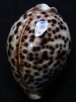 edspal shells- cypraea tigris  81mm F+++,,,nice spots selected sea shells ,,Philippines