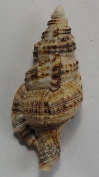 Cymatium nicobaricum  76.4mm F+++ big size shell
