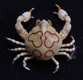 Sea crab taxidermy Leucosia anatum  22.8mm F+++ preserved dried,sea crabs ,measured body only