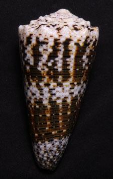 Conus   imperialis  76.5mm F+++ , gastropods sea shell