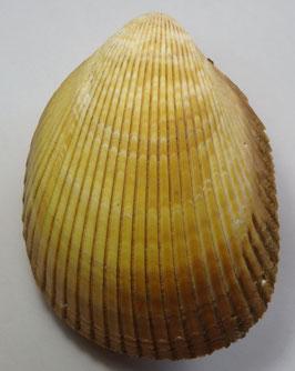 Trachycardium enode  117.9mm F+++, big size sea shell