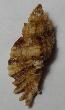 Naquetia cumingii    size  54.6mm  F+++ , sea shell conchology