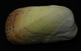 Trapezium gilvum  82.7mm F+++,,nice shell,,Philippines