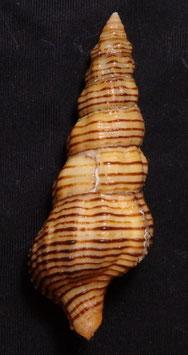 Fasciolariidae - Turrilatirus 64.9mm F++/F+++