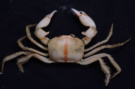 Sea crab taxidermy sea crabs species 26.9mm  F+++ preserved dried,sea crabs ,measured body only