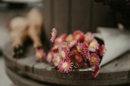 Chrysanthemen Pink