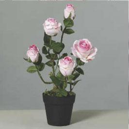 Topf Rose 5 Blüten