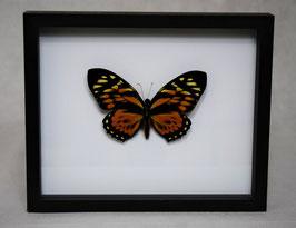 """""""Papilio zagreus"""" bovenkant in 3D lijst"""