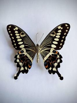 Ongeprepareerde Papilio Lormieri