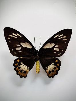 Ongeprepareerde Ornithoptera Priamus Poseidon (vrouw)