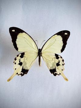 Ongeprepareerde Papilio Dardanus