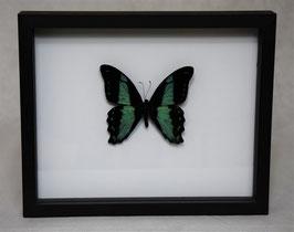 """""""Papilio bromius"""" bovenkant in 3D lijst"""