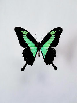 *nieuw* Ongeprepareerde Papilio Phorcas