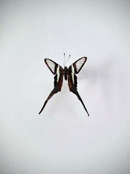 Ongeprepareerde Lamproptera Curius