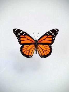 *nieuw* Ongeprepareerde Danaus Plexippus (Monarch vlinder)