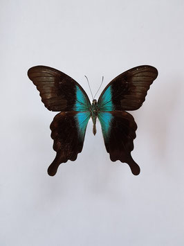Ongeprepareerde Papilio Peranthus Adamantius