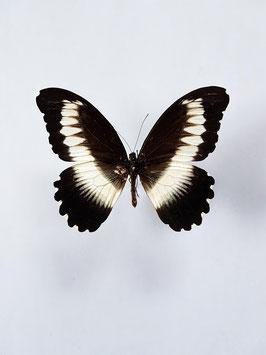 *nieuw* Ongeprepareerde Papilio Mechowianus