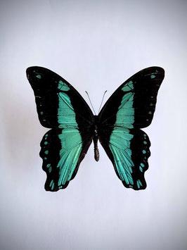 Ongeprepareerde Papilio Bromius