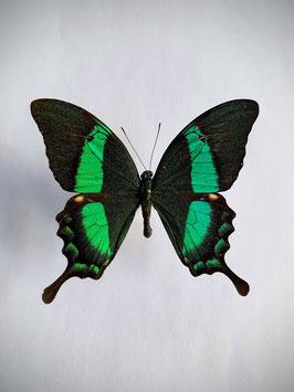 Ongeprepareerde Papilio Daedalus