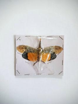 (On)geprepareerde Pyrops Astarte orange