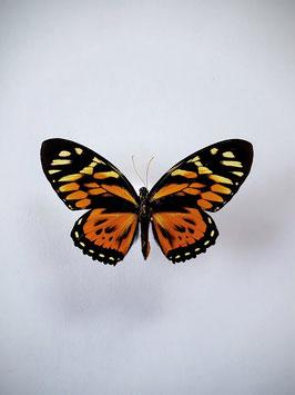 Ongeprepareerde Papilio Zagreus