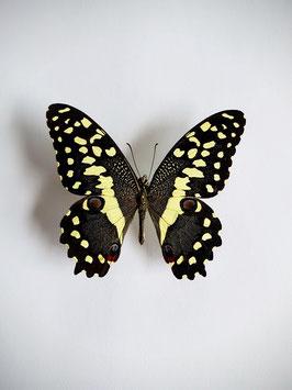 Ongeprepareerde Papilio Demodocus