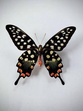 Ongeprepareerde Papilio Antenor